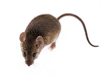 Rodent Proofing | Attic Cleaning Pasadena, CA